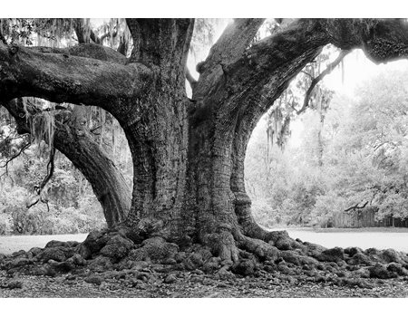 """Etienne De Boré Oak,"" photograph by Richard Sexton from the exhibition ""Terra Incognita: Photographs of America's Third Coast,"" on display at PMoA through September 13."