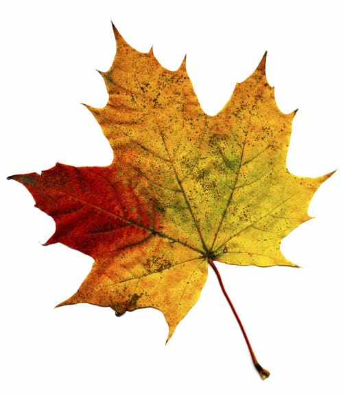 A perfect autumnal leaf, displaying a range of warm tones.