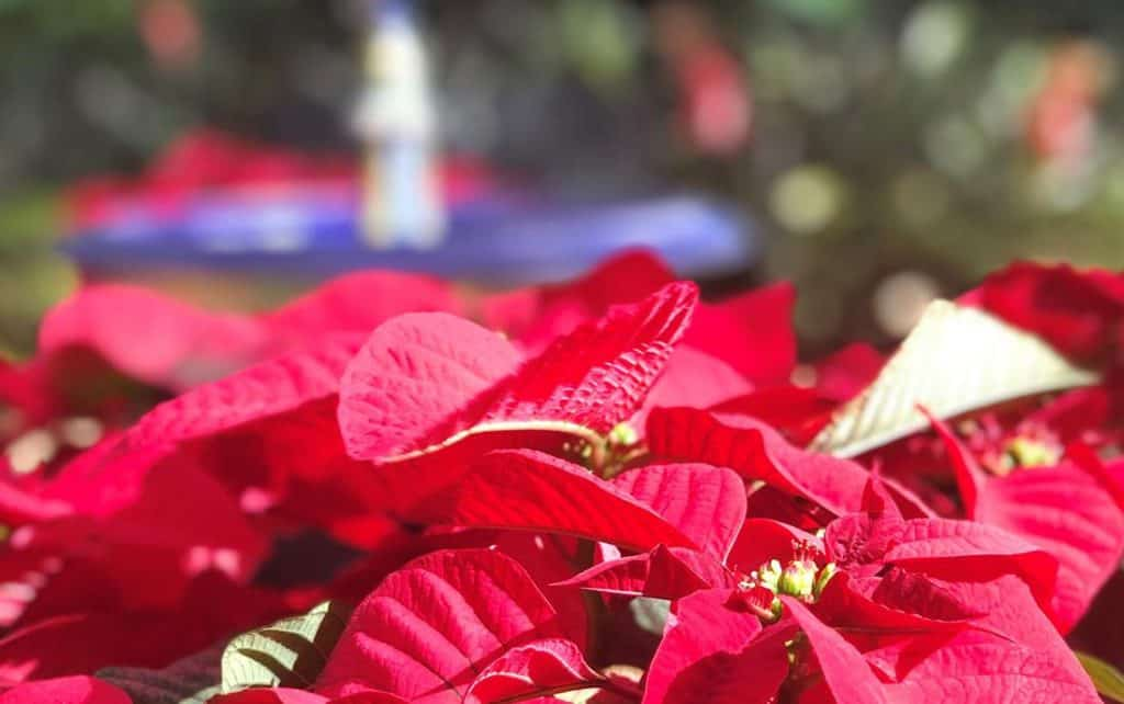 Red Poinsettia at Bok Tower Gardens